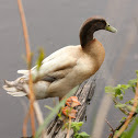 Domestic Duck ( khaki campbell)
