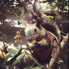 Mexican red-bellied squirrel