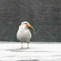 Ring-billed Gull , goes fishing