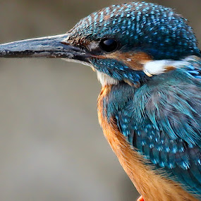 Common Kingfisher (Chotto maachranga) by Jayanto Dey - Animals Birds