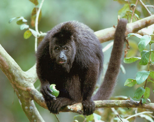 howler-monkey-belize - A howler monkey in Belize.