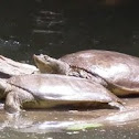 Spiny Softshell Turtles