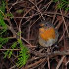 European robin, petirrojo
