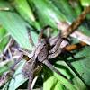 Aranha de Jardim(PT-BR)
