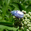 Blue Chafer (male)