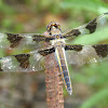 Callico Pennant Dragonfly