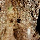 Western (Black) Widow Spider