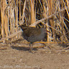 Water Rail; Rascón
