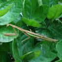 Praying Mantis, Chinese Mantis