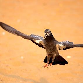 Touch Down by Seema Nair - Animals Birds ( bird, bird photos, bird flying, bird photography, bird in flight,  )
