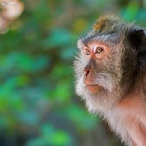 i am monkey by Stevie Go - Animals Other Mammals ( mammals, animals, bokeh, monkey,  )