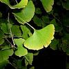 Ginkgo biloba o árbol de los cuarenta escudos