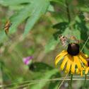 Butterflies on Black-eyed Susan