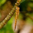 Globe Skimmer - Male