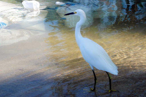 A snowy egret at water's edge near Puerto Vallarta, Mexico.