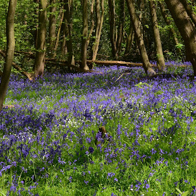 Bluebell woods by Brian Rogers - Landscapes Forests ( forests, landscapes, flowers, woods, bluebells )