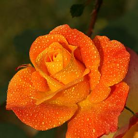 pearls by Bharat Dudeja - Flowers Single Flower ( rose, water drops, macro, nature, pearls, yellow, garden, flower, droplets,  )