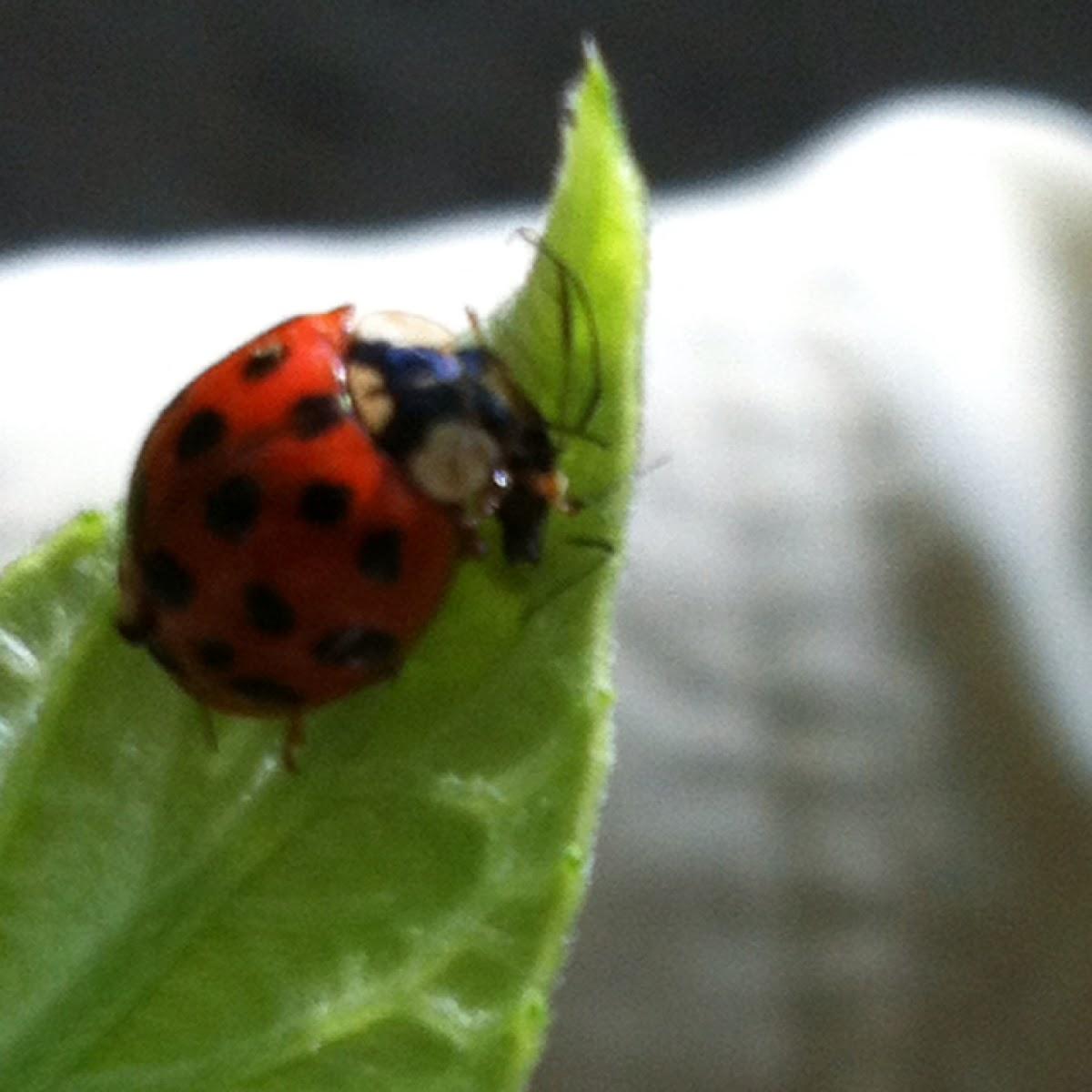 Lady bug predating an aphid