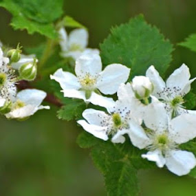 Looks like there will be a great blackberry crop this year. by Priscilla Capelle-Haehn - Flowers Tree Blossoms