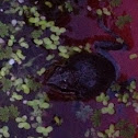 Baja tree frog male