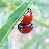 Spotless Lady Bug