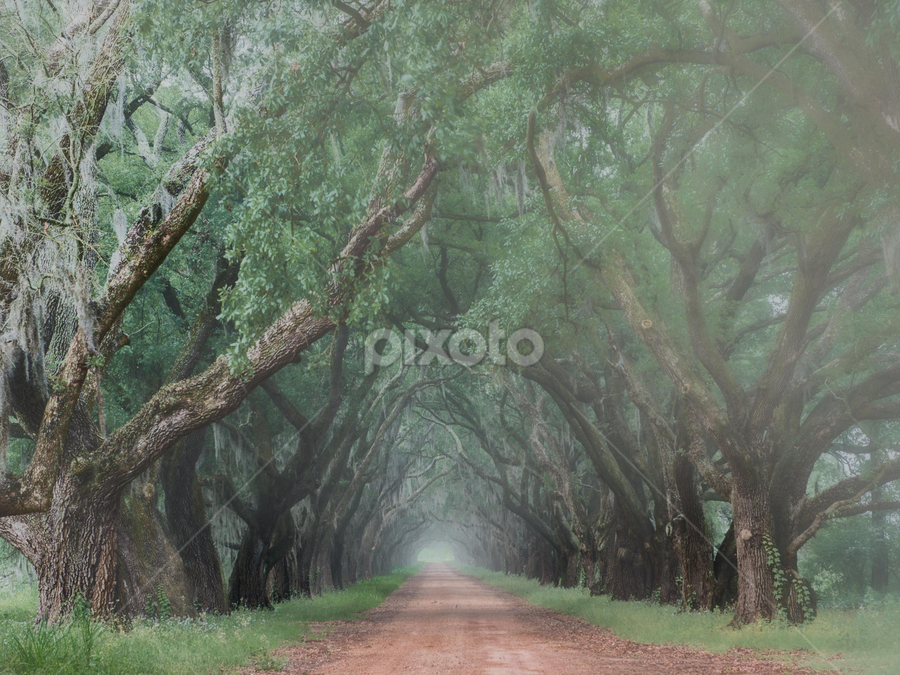 Tree Lined Walk by Sheldon Anderson - Landscapes Forests ( fog, louisiana, morning, live oak trees, plantation,  )