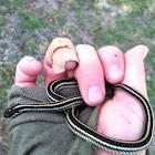 Texas Garter Snake