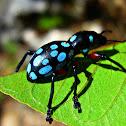 Polka Dot Weevil Beetle