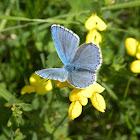 Eastern Blue Butterfly