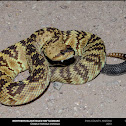 Northern Blacktailed Rattlesnake