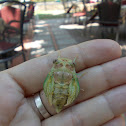 Cicada Orni nymphs