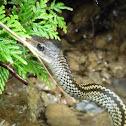 Big-eyed Rat Snake