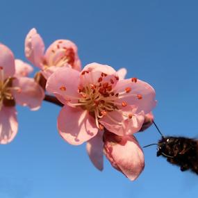 Peach blossoms and bumblebee by Snezana Petrovic - Flowers Tree Blossoms ( stamens, colorful, petals, bumblebee, peach, insects, spring, blossoms, soft, pure, macro, nature, snezana petrovic, horizontal, outdoor, trees, garden,  )