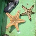 Chocholate Chip Starfish