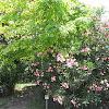 Laurel del flor