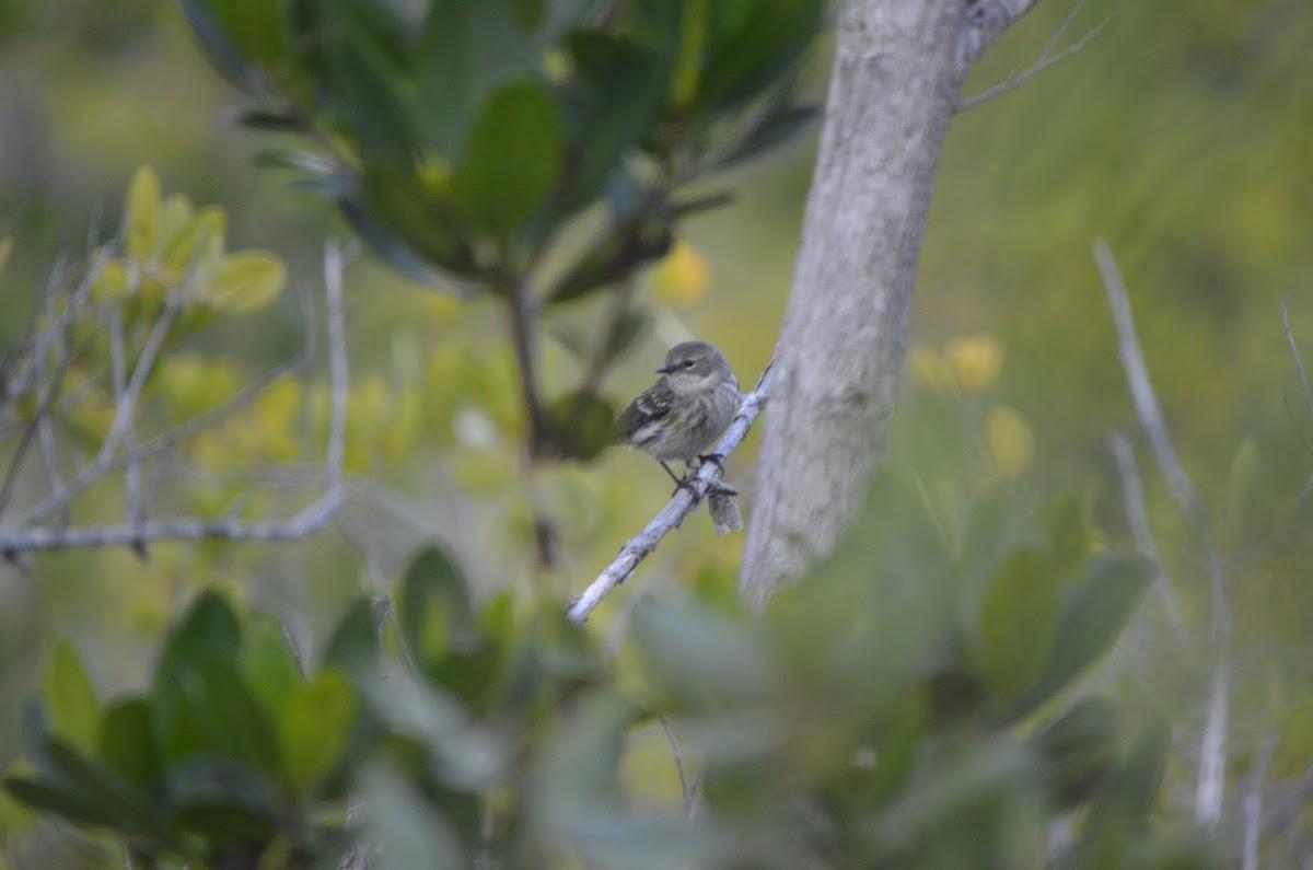 (Myrtle) Yellow-rumped Warbler - female