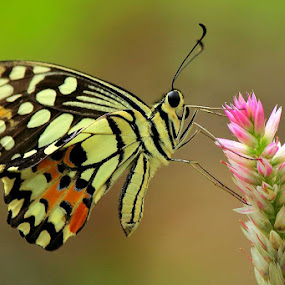 Sweets Butterfly by Fadel Satriawan - Animals Insects & Spiders