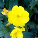 Common Evening Primrose