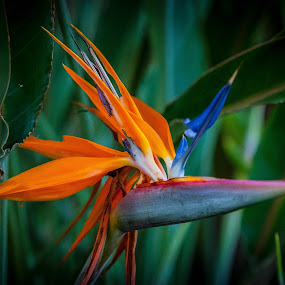 Pajaro en flor by Pablo Barilari - Flowers Single Flower ( orange, flowe, fncc, 2014 fncc, nature, family conference 2014, bird flower, sgi )