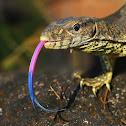 Indian Monitor lizard