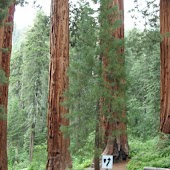 Panda Home Sequoia Trees