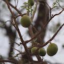 Bush Mango