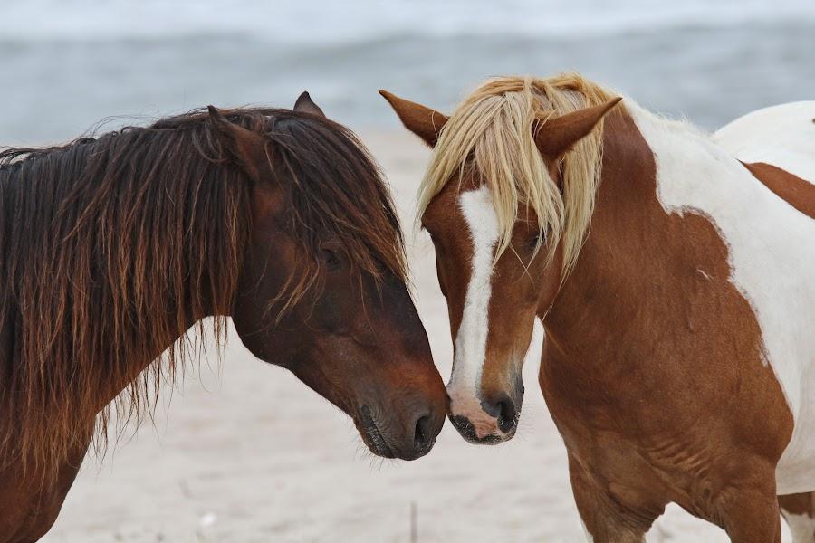nuzzle by Paul Glinowiecki - Animals Horses ( wild, horses, ponies, horse, beach, assateague, animal,  )