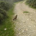 Common Buzzard (Γερακίνα)