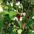 Oklahoma Lepidoptera