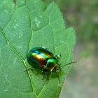 Dead-nettle Leaf Beetle