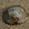 Fenestrate Limpet
