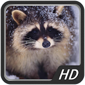 Raccoon HD Wallpapers