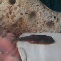 Hillstream loach