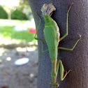 Pregadéu / Mantis